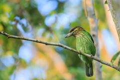 Green-eared Barbet sitting on the fig tree - stock photo