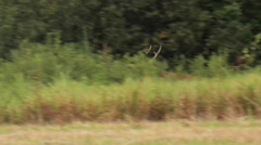 Red Deer running in the bushes Stock Footage