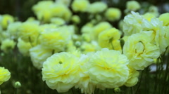 Yellow Ranunculus Flowers Rack Focus Stock Footage