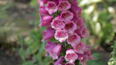 Foxglove Flowers Pan Up Stock Footage
