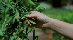 Picking Snap Peas Close Up Stock Footage