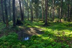 Open standing water inside coniferous stand - stock photo