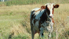 Motley Cow looking into the camera Stock Footage