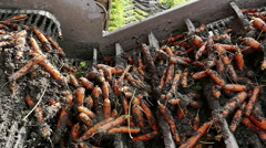 Conveyor belt for loading carrots Stock Footage