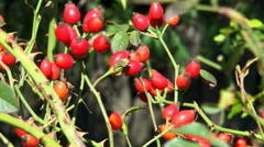 Bush with red rosehips Stock Footage