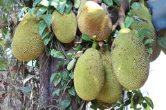 many jackfruit on the tree - stock photo