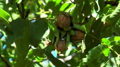 Ripe walnuts in a broken peel - stock footage