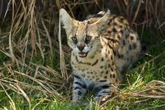 Serval Leptailurus serval hissing 2 years Africa captive - stock photo