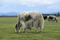 Grazing light brown yak Bos mutus with longhaired fur Orkhon Valley Khangai - stock photo