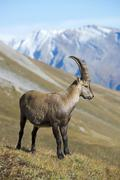 Alpine ibex Capra ibex male Kaiser Franz Josefs Hohe High Tauern National - stock photo