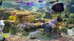 Beautiful tropical fishes swim among corals in big aquarium Stock Footage