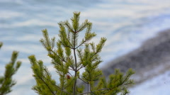 Spruce tree with a wavy ocean in the background during a winter morning Stock Footage