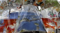 Stock Video Footage of ornamental fish in plastic bag