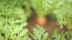 Focus pull of a carrot protruding from the earth Stock Footage