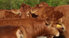 Close up shot of Jersey cows in a field Stock Footage