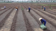 Vietnamese Workers are planting vegetables - stock footage