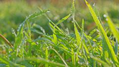 Growing Grass with frozen Water Drops, morning frost. HDR RAW shot Stock Footage