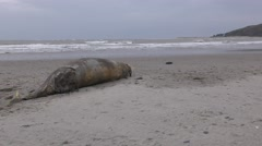 Whale carcass washed up on Ynyslas beach, Wales, UK Stock Footage