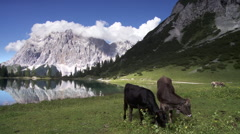 Beautiful lake in the austrian mountains with cow's Stock Footage