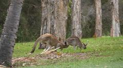 Eastern Grey Kangaroo courting female kangaroo - 4k Stock Footage