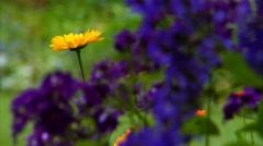 Yellow to Indigo Flower Rack Focus Stock Footage