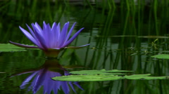 Blue Lotus Reflected Stock Footage