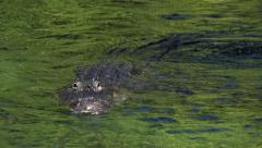 American Alligator swim in a lake. Stock Footage