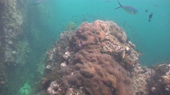 Reef with many sea  anemones Stock Footage