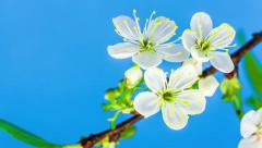 Sour Cherry Tree Flower Blossoming Timelapse Stock Footage