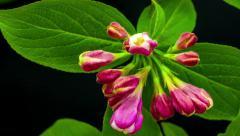 Weigela flower blooming Stock Footage