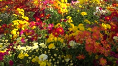 Glade of varicoloured chrysanthemums. Stock Footage