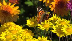 Painted Lady Butterfly (Vanessa Cardui) on yellow chrysanthemums. Stock Footage