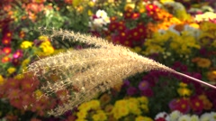 Miscanthus sinensis (Chinese silver grass) with chrysanthemums on background. Stock Footage