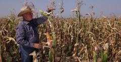 Farmland Owner Examine Corncobs Maize Plant Agriculture Industry Rich Harvest Stock Footage