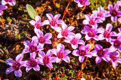 Purple saxifrage blossoming - stock photo