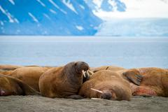 Stock Photo of Walruses lying on the shore in Svalbard, Norway