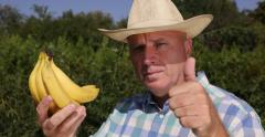 Farmer Inspect Farmland Bananas Harvest Ripe Period Exotic Tropical Fruit - stock footage