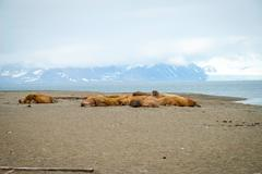 Walruses lying on the shore in Svalbard, Norway - stock photo