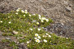 Mountain avens (Dryas octopetala) blossoming during arctic summer, Svalbard Stock Photos