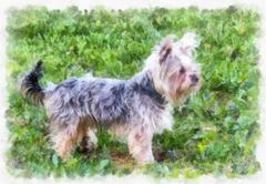 Painted Yorkshire Terrier Stock Illustration