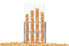 research corn, biofuel and gmo - stock photo