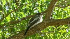 Young grey butcherbird perched as wind moves tree branch and leaves Stock Footage