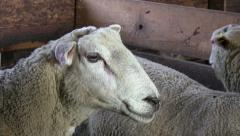 Farm animal Stock Footage