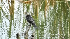 Black and white little shag bird calmly looking wetlands lake whilst standing on Stock Footage