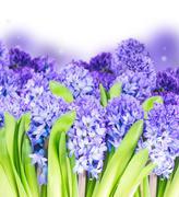 Blue  hyacinth - stock photo