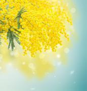 French mimosa - stock photo