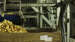 Potatoes coming off an automated conveyor belt into a large container - stock footage