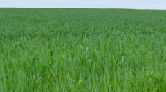 Young wheat Fertile agricultural area Danube plain in Bulgaria. Stock Footage