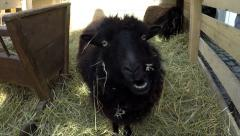 Very funny cute small black sheep eating hay not minding the camera 4k Stock Footage