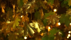 Maple leaves painted in gold paint Stock Footage